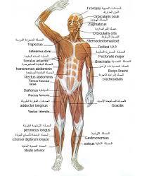 صورة اسماء عضلات الجسم , تعرف على جسمك