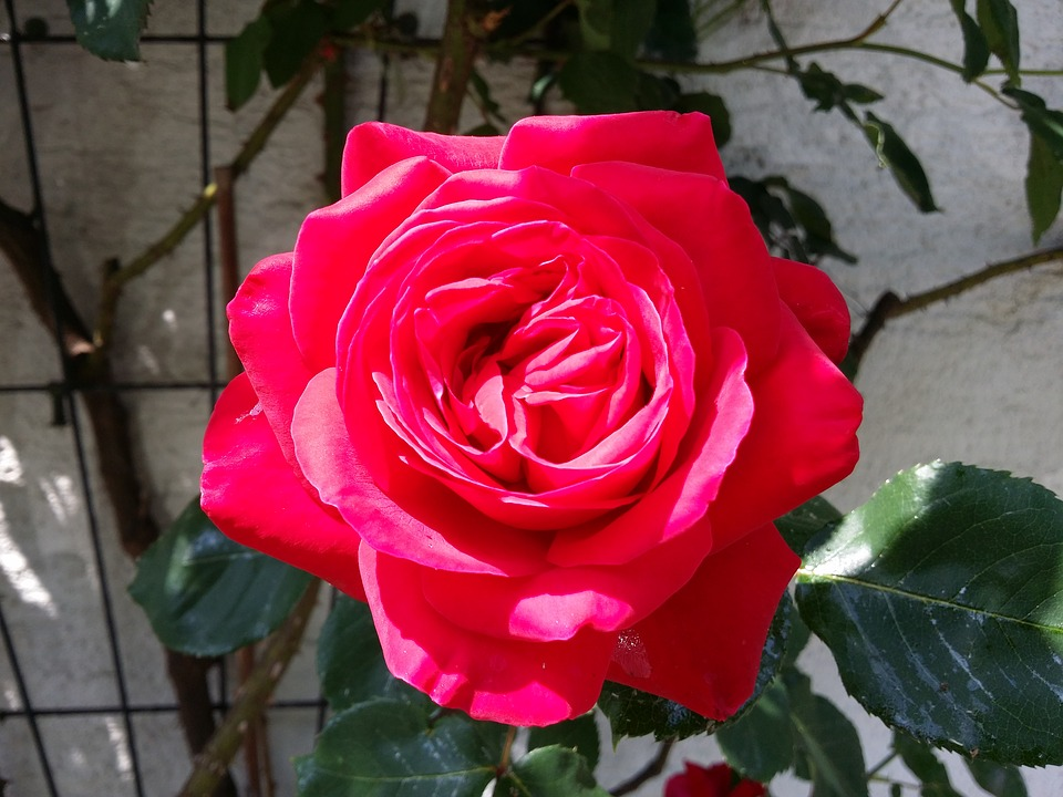 صور صورة وردة حمراء , صور رائعه للورد