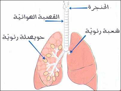 صور رسم الجهاز التنفسي , تعلم كيف ترسم الجهاز التنفسى
