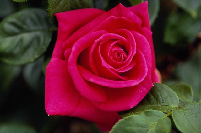 اجمل وردة في العالم اجمل الصور عتاب وزعل