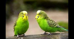 صور صور عصافير , تغريد العصافير واصواتها واشكالها