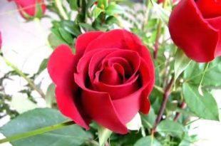 صورة خلفيات ورود جميلة جدا , اجمل واروع الخلفيات الورود الجميلة