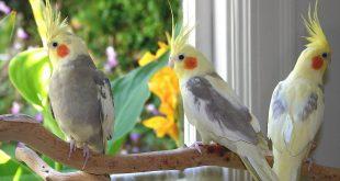 صور عصافير الزينة , اجمل صور لطيور الزينه