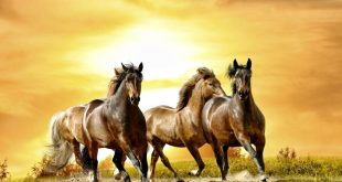 صورة خيول عربية , صور جياد عربيه اصيله