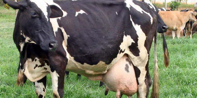 صور كيفية ذبح البقر , كيفية ذبح الابقار