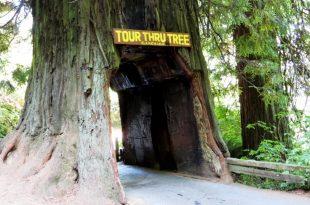 صور ما هي اطول شجره في العالم , صور اطول شجرة في العالم
