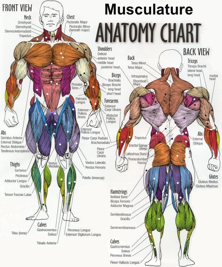 صورة اسماء عضلات الجسم , ما اسماء عضلات الجسم