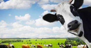 صورة البقرة في المنام للحامل , تفسير رؤية البقرة فى الحلم للمراه الحامل