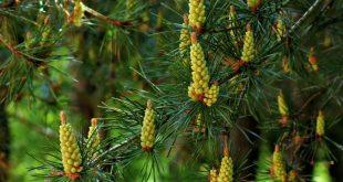صورة معلومات عن شجرة الصنوبر , تعرف اكثر على شجرة الصنوبر