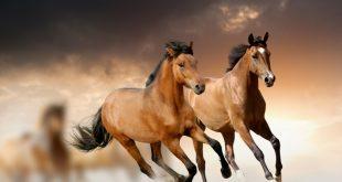 صور صورة خيل اصيل , احلى خلفيات للحصان العربي