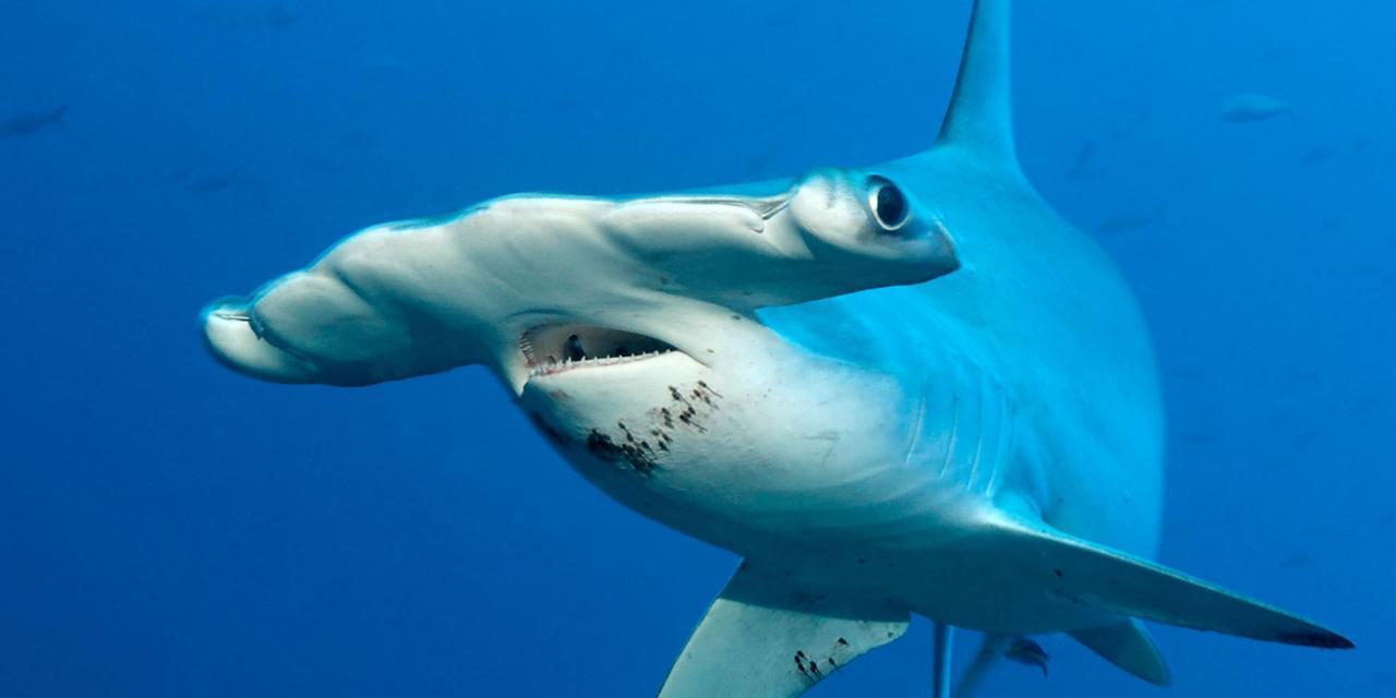 صور صور سمك القرش , اخطر كائنات البحر بالصور