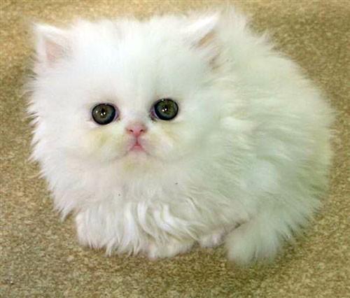 صورة صور قطط شيرازي , اجمل الصور للقطط الشيرازي الكيوت