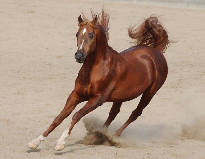 صور صورة الحصان العربي , تميز وجمال الحصان العربى