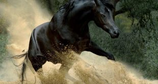 صورة صورة الحصان العربي , تميز وجمال الحصان العربى