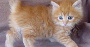 صور صور قطط , صور كيوت لاجمل قطط شيرازي