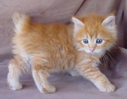 صورة صور قطط , صور كيوت لاجمل قطط شيرازي